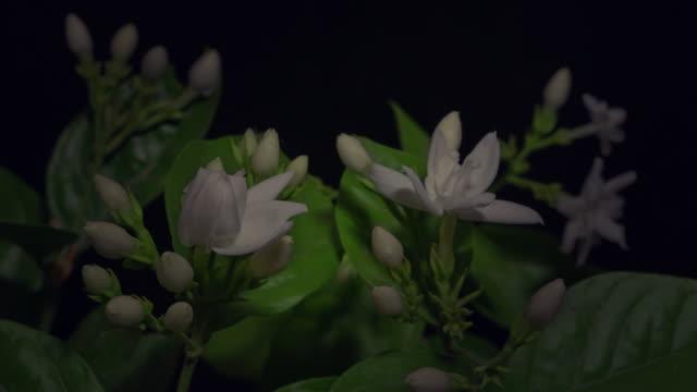blooming time lapse of white jasmine / kannauj, uttar pradesh, india - bud stock videos & royalty-free footage