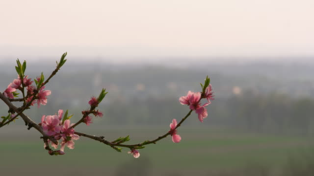ds cu blooming tree against a village in the countryside - twig stock videos & royalty-free footage