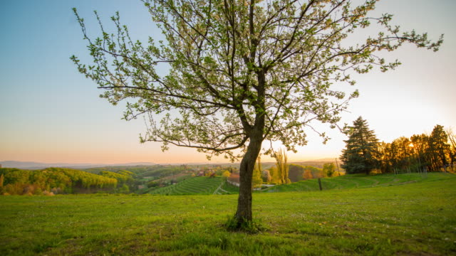 8k t/l blooming tree in the meadow - prekmurje stock videos & royalty-free footage