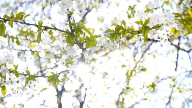 blooming tree - plum stock videos & royalty-free footage