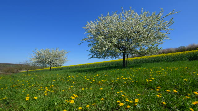 blooming trees and rapefield in spring - idyllic stock videos & royalty-free footage