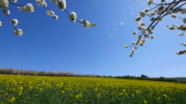 blooming trees and rapefield in spring