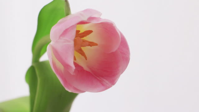 stockvideo's en b-roll-footage met blooming tulip, time lapse - bloeien tijdopname