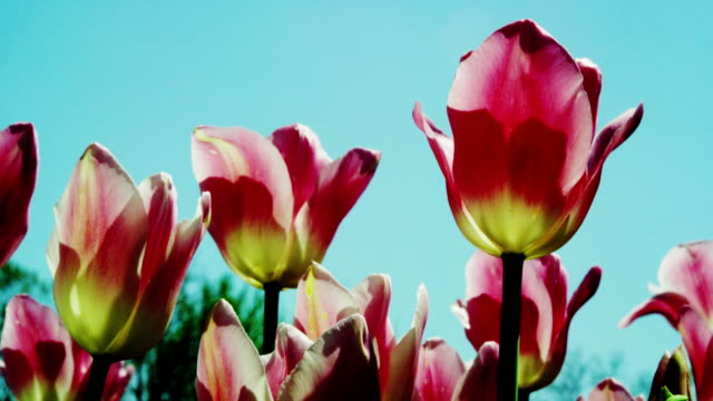 blooming tulips in spring sliding motion - 10 seconds or greater stock videos & royalty-free footage