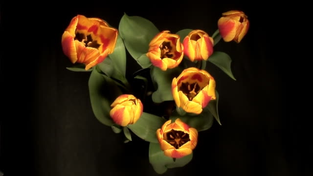 Blooming tulips over black background