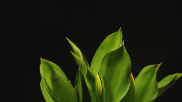 blooming tulips - floral pattern stock videos & royalty-free footage
