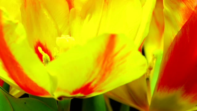 blooming tulips - tulip stock videos and b-roll footage