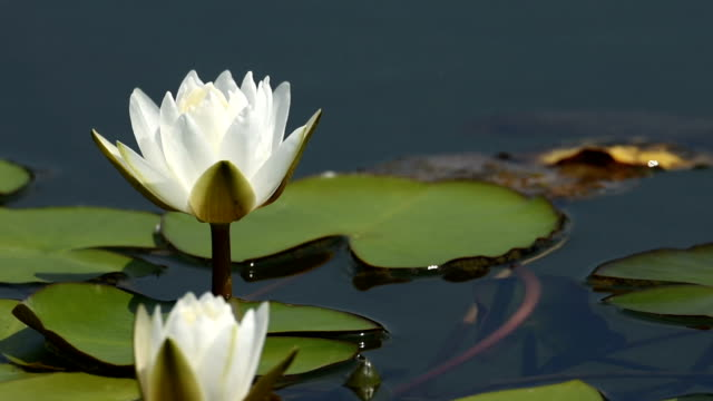 blooming water lilies in the pond hd video - lily stock videos & royalty-free footage