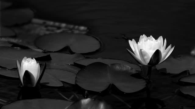 vídeos de stock e filmes b-roll de blooming water lilies in the pond hd video - estame