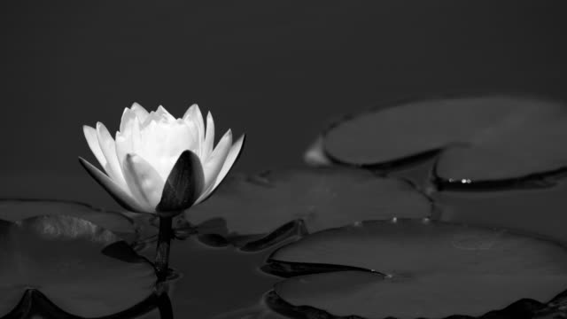 blooming water lily in the pond 4k time lapse video - lily stock videos & royalty-free footage