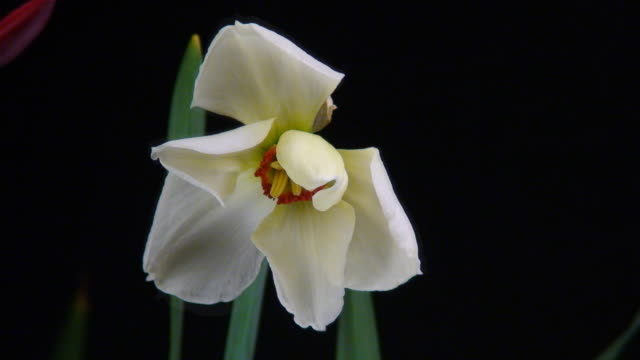 blooming white narcissus - paperwhite narcissus stock videos & royalty-free footage