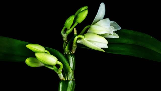 開花ホワイトオーキッド - bamboo plant点の映像素材/bロール