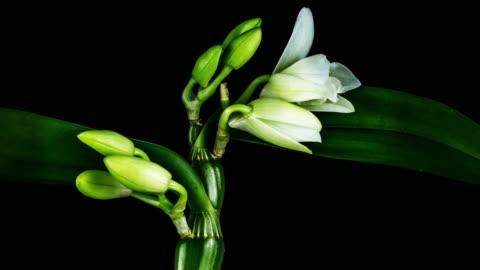 stockvideo's en b-roll-footage met bloeiende witte orchidee - bamboo plant