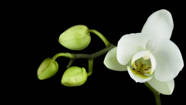 blooming white orchid - orchid stock videos and b-roll footage