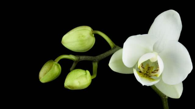 stockvideo's en b-roll-footage met bloeiende witte orchidee - bloemhoofd