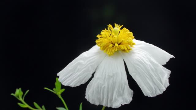 Blooming White Poppy Flower 4K