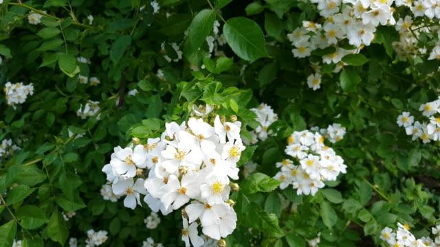 vidéos et rushes de fleurs sauvages plante rose tiré du point de vue de l'abeille - plante sauvage