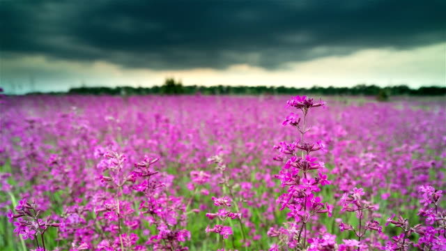 blooming wildflowers. storm front is moving toward the horizon. - wildflower stock videos and b-roll footage