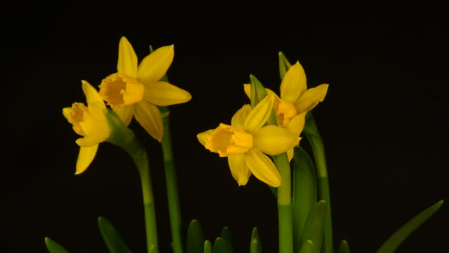 blooming winter narcissus - daffodil stock videos and b-roll footage