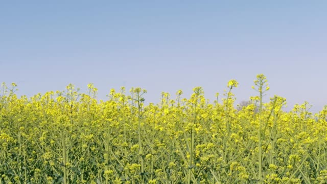 blooming yellow canola oil flowers under blue sky on sunny spring day. flowering oilseed rape and flying insects - rapeseed oil stock videos and b-roll footage