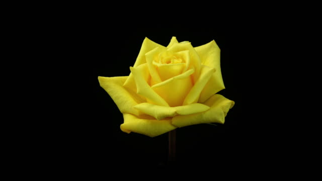 blooming yellow rose 4k - yellow stock videos & royalty-free footage