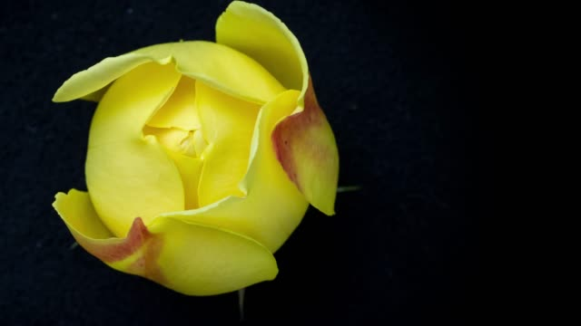 blooming yellow rose timelapse - yellow stock videos & royalty-free footage