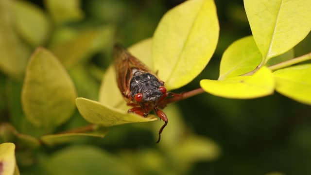 bloomington, indiana, usa: a cicada rests in the leaves of a bush after emerging from its shell. early brood x cicadas have emerged 4 years early may... - life cycle stock videos & royalty-free footage