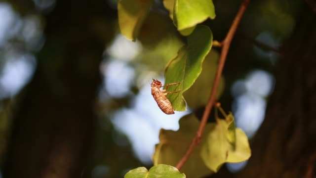 bloomington, indiana, usa: a cicada shell is left behing in a tree after a cicada emerged from the ground and molted. early brood x cicadas have... - life cycle stock videos & royalty-free footage