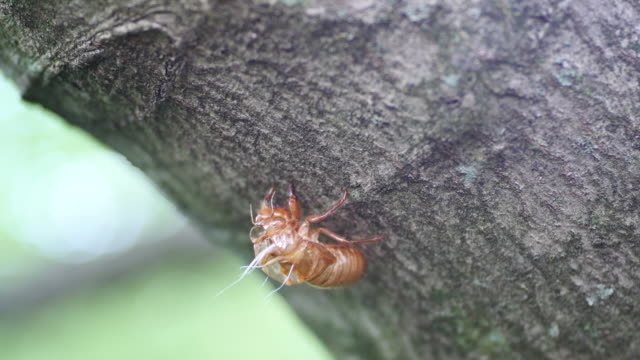 vídeos de stock, filmes e b-roll de a cicada shells is left on a tree branch early brood x cicadas emerge four years early may 21 2017 in bloomington indiana the insects which have a 17... - bloomington indiana