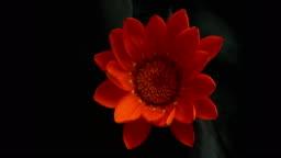 blossom flower time effect