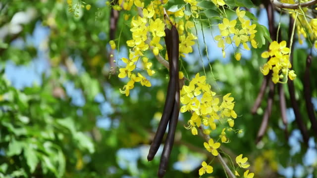 ms blossom golden shower tree shaking by wind and fruit of golden shower tree hanging on branch / hilo, big island,hawaii, united states - hilo stock videos & royalty-free footage
