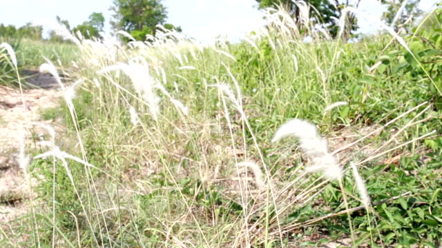 blossom grass flower and have wind blows. - named wilderness area stock videos & royalty-free footage