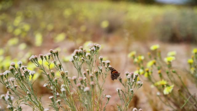 blossom in springtime. painted ladies butterfly pollinating desert wildflowers in california, usa - wildflower stock videos & royalty-free footage