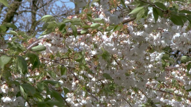Blossom on a tree swaying in the wind in rural Scotland