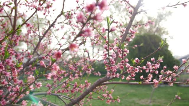 Blossom peach sun