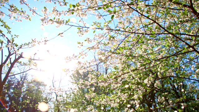 slo mo blossom petals falling off the cherry tree - cherry blossom stock videos & royalty-free footage