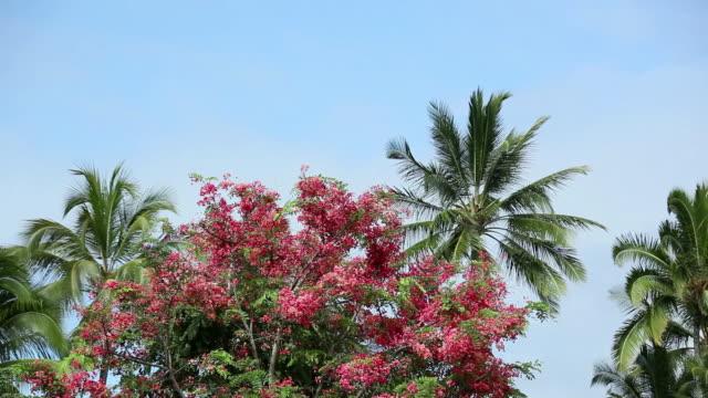 MS Blossom rainbow shower tree and coconut tree shaking by wind / Hilo, Big Island,Hawaii, United States