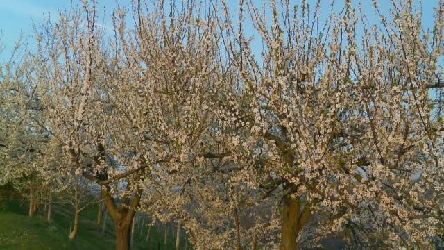 hd dolly: blossom trees in the orchard - plum stock videos & royalty-free footage