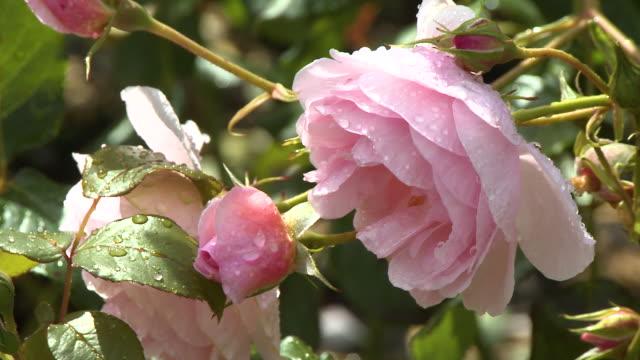 vídeos de stock e filmes b-roll de blossomed pink rose - pistilo