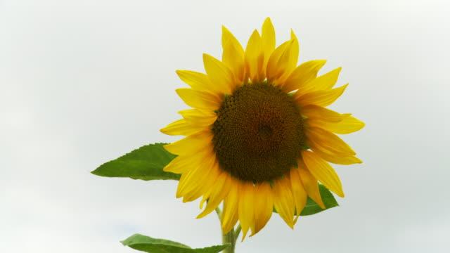 HD: Blossomed Sunflower