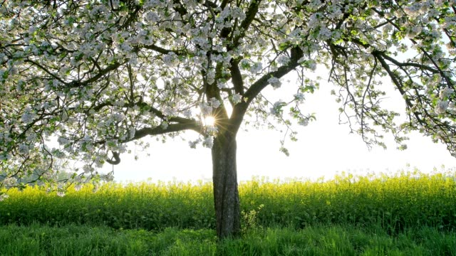 blossoming apple tree in spring at sunrise, röllbach, miltenberg, miltenberg district, spessart, bavaria, germany - blossom stock videos & royalty-free footage