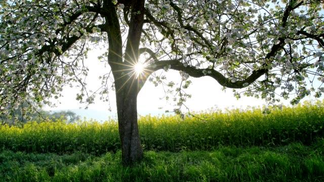 blossoming apple tree in spring at sunrise, röllbach, miltenberg, miltenberg district, spessart, bavaria, germany - crucifers 個影片檔及 b 捲影像