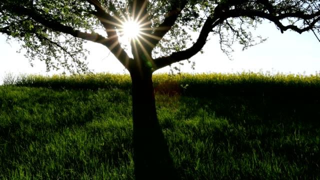 blossoming apple tree in spring at sunrise, röllbach, miltenberg, miltenberg district, spessart, bavaria, germany - apple tree stock videos & royalty-free footage