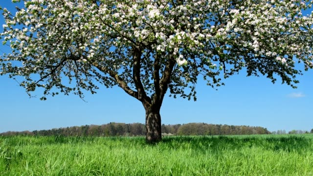 Blossoming apple tree in spring, Eichelsbach, Bavaria, Germany