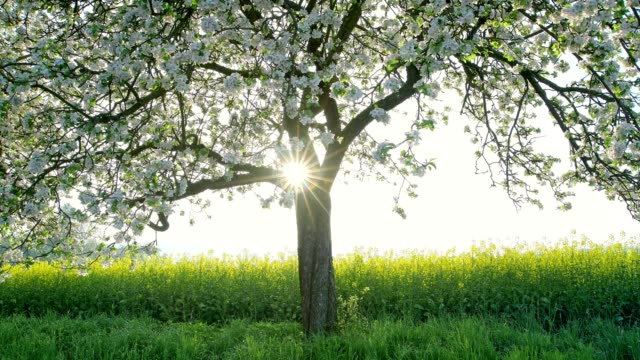 blossoming apple tree with rape field in spring at sunrise - orchard stock videos & royalty-free footage