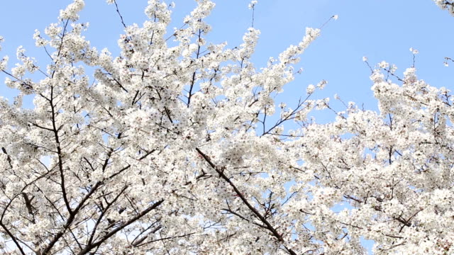 blossoming cherry flowers - low angle view stock videos & royalty-free footage