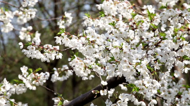 blossoming cherry flowers - obstbaum stock-videos und b-roll-filmmaterial