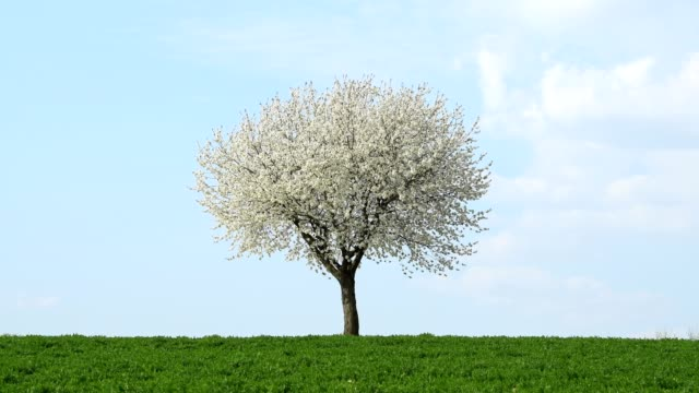 blossoming cherry tree in spring, bavaria, germany - 桜の花点の映像素材/bロール