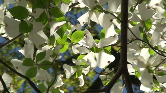 blossoming dogwood tree - dogwood stock videos & royalty-free footage