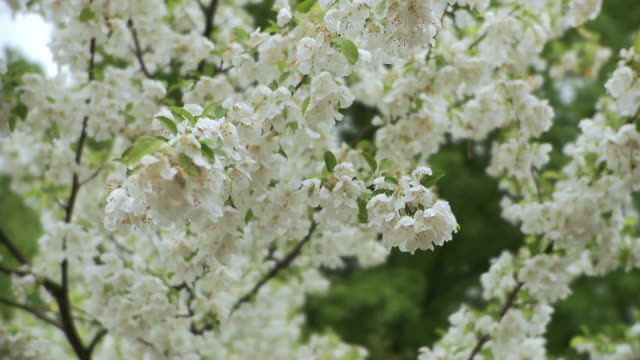 cu pan td blossoming flowers / stowe, vermont, usa - stowe vermont stock videos & royalty-free footage